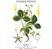 Svenska växter - plansch - smultron