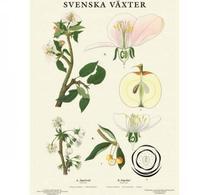 Svenska växter - plansch - äpple