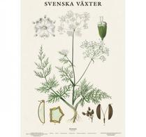 Svenska växter - plansch - kummin