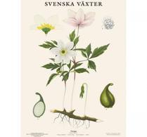 Svenska växter - plansch - vitsippa