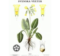 Svenska växter - plansch - gullviva