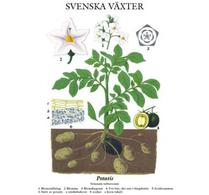 Svenska växter - plansch - potatis